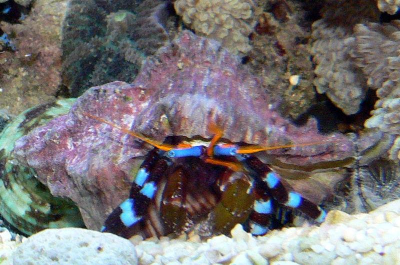 calcinus bernard l hermite poissons marins vente magasin uniquement invert 233 br 233 s