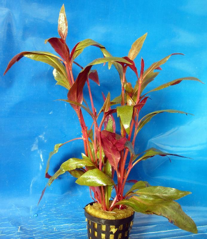 althernanthera reineckii plante d 39 arri re plan plantes au d tail en pot aux poissons. Black Bedroom Furniture Sets. Home Design Ideas