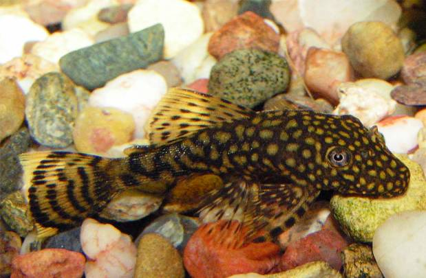 Ancistrus Bristlenose catfish
