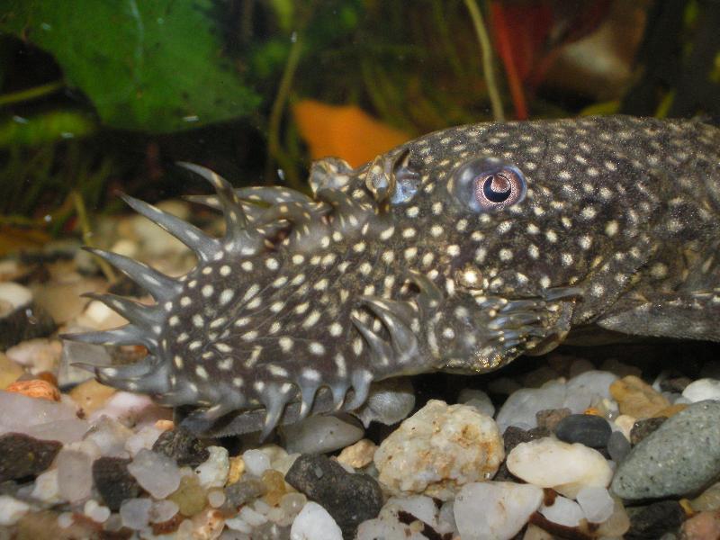 Ancistrus petit ancistrus leucostictus loricarid s for Nettoyeur aquarium poisson