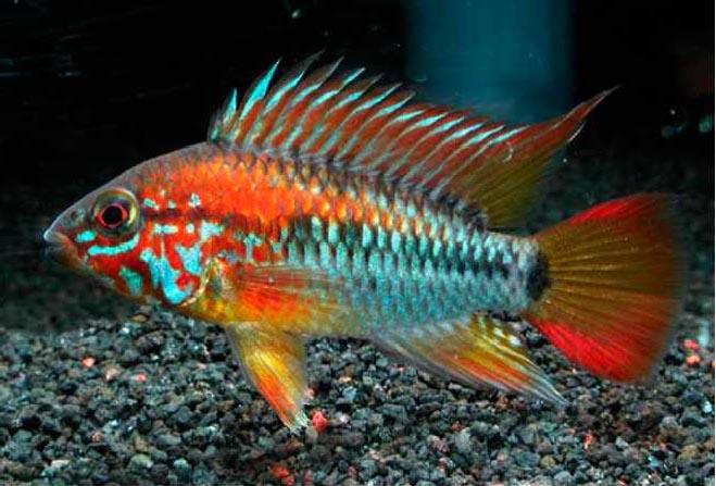 Prix poisson combattant bleu for Poisson combattant prix