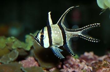 Pterapogon kauderni elevage vivent en groupe poissons for Vente poisson aquarium