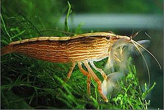 atyopsis moluccensis crevette bambou poissons exotiques vente magasin uniquement
