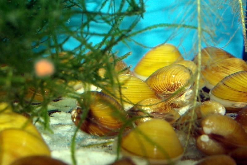 coque d 39 eau douce corbicula javanicus poissons. Black Bedroom Furniture Sets. Home Design Ideas