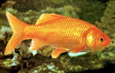 Un poisson avec des gênes de tomate