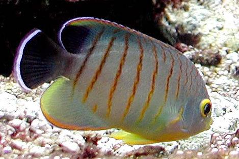 Centropyge eibli r cifal mais attention poissons for Vente aquarium poisson