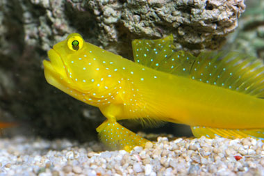 Cryptocentrus cinctus exotics fish loricula flame for Saltwater goby fish