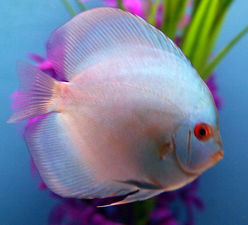 Discus diamant bleu symphysodon discus prix selon for Prix poisson aquarium