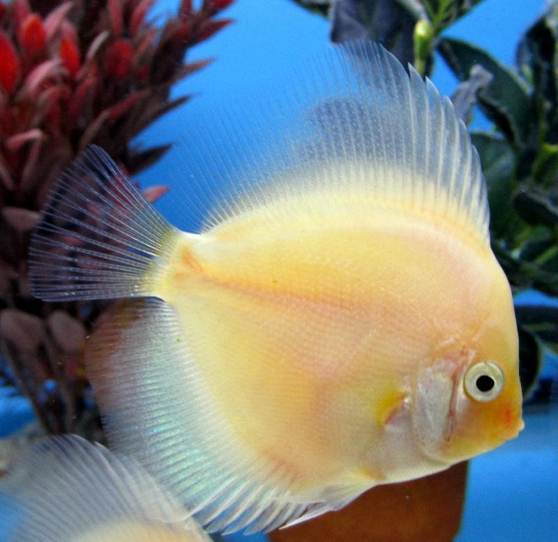 Prix poisson combattant bleu for Nourriture poisson combattant