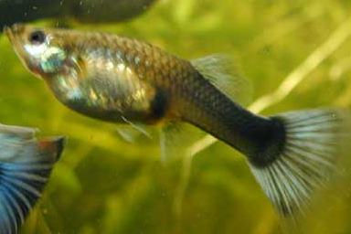 Guppy femelle poecilia reticulata poissons exotiques for Alimentation guppy poisson rouge