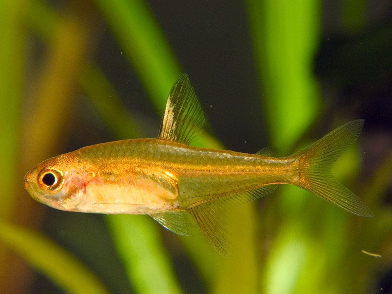 Hyphessobrycon amandae characid s poissons for Poisson exotique aquarium