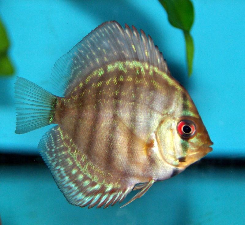 Prix poisson combattant bleu for Nourriture pour poisson combattant
