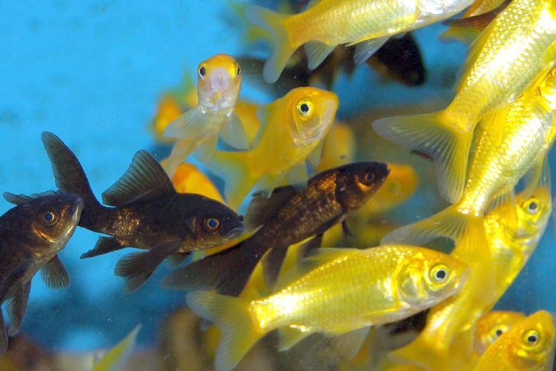 Comette jaune poissons eau froide vente magasin for Poisson aquarium eau douce froide