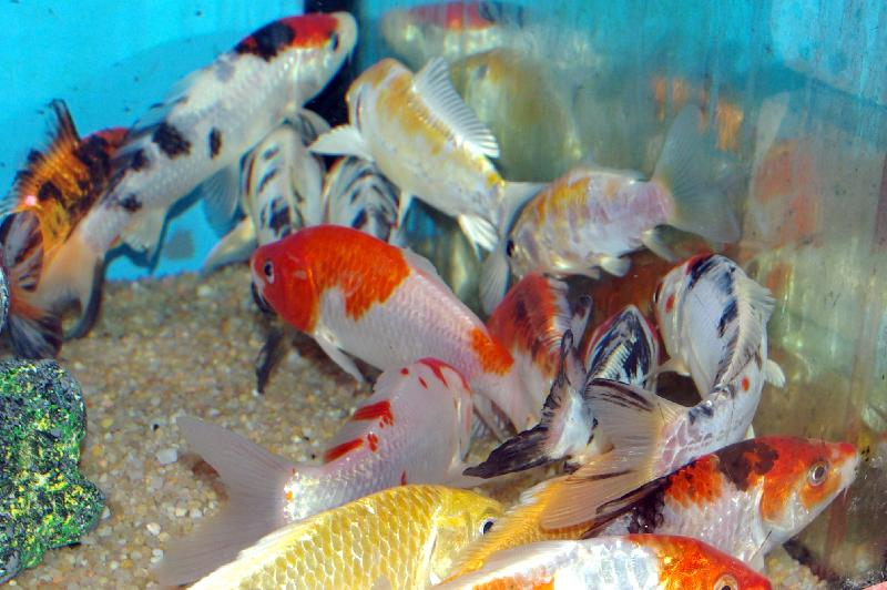Carpe koi tricolor poissons eau froide vente for Poisson koi aquarium