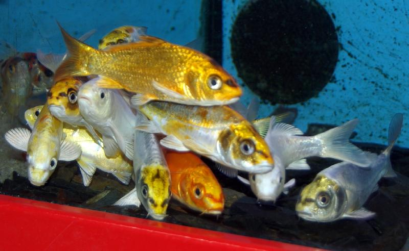 Carpe ko ghost poissons eau froide vente magasin for Vente de carpe koi