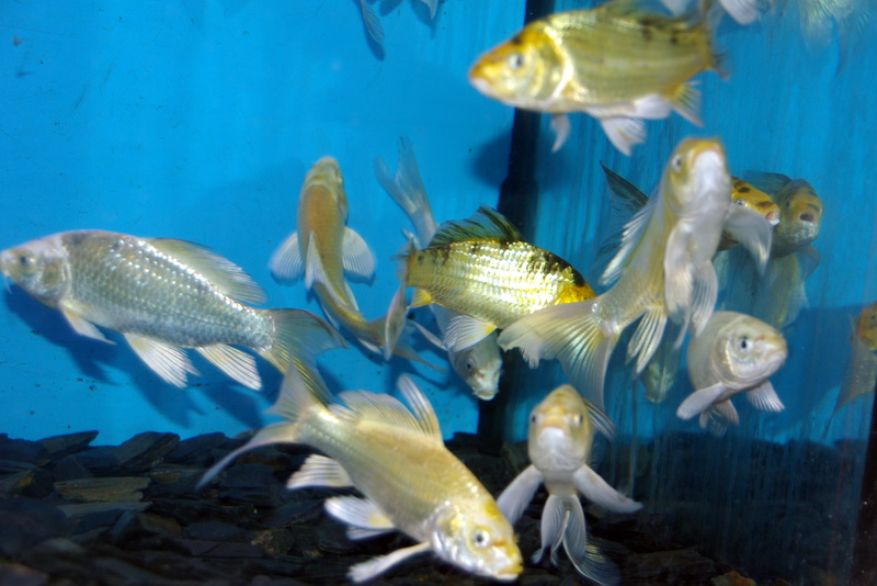 Koi fantome voile 10 12 cm poissons eau froide vente for Carpe koi bleu prix