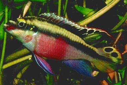 pelvicachromis pulcher pelmato poissons exotiques vente magasin uniquement cichlid s. Black Bedroom Furniture Sets. Home Design Ideas