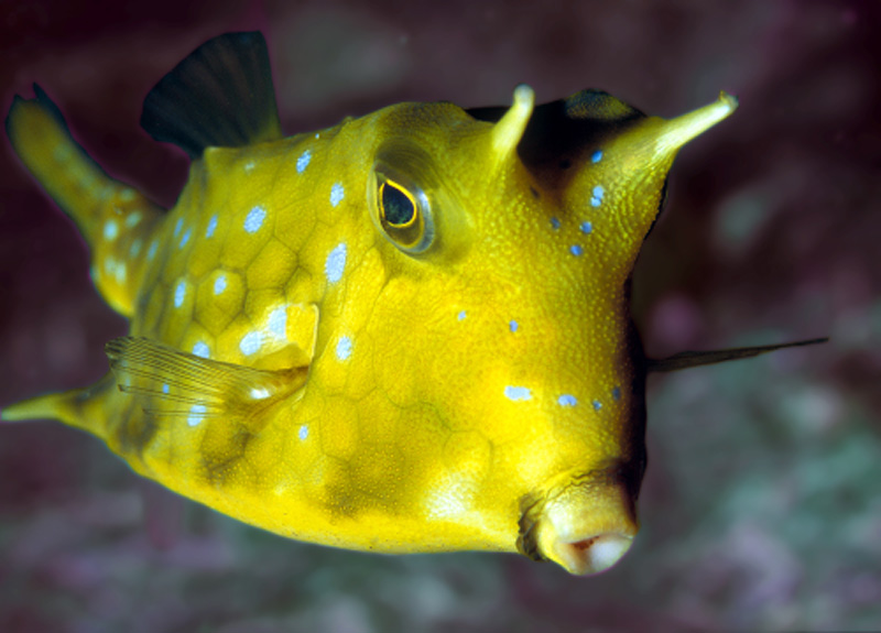 Lactoria cornuta poisson vache longues cornes for Vente aquarium poisson