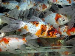 Shubunkin 20 25 cm poissons eau froide vente magasin for Prix poisson rouge 20 cm