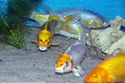 Carpe koi butterfly cm poissons eau froide for Vente carpe koi voile