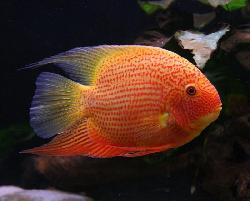 CICHLASOMA SEVERUM RED spot