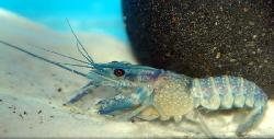 procambarus blanche poissons exotiques vente magasin uniquement crevettes escargots crabes. Black Bedroom Furniture Sets. Home Design Ideas