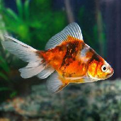 Ryukin calico 7 8 cm poissons eau froide vente magasin for Poisson pour eau froide