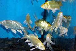 Koi fantome voile 10 12 cm poissons eau froide vente for Vente carpe koi voile