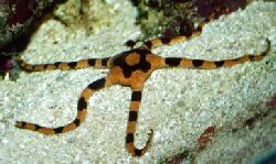 OPHIOLEPIS SUPERBA
