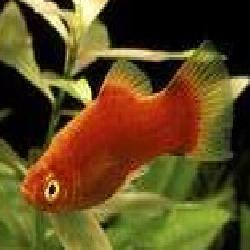 PLATY ROUGE