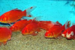 Poisson rouge cm poissons eau froide vente for Vente poisson rouge tunisie