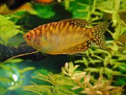 GOURAMI GOLD large