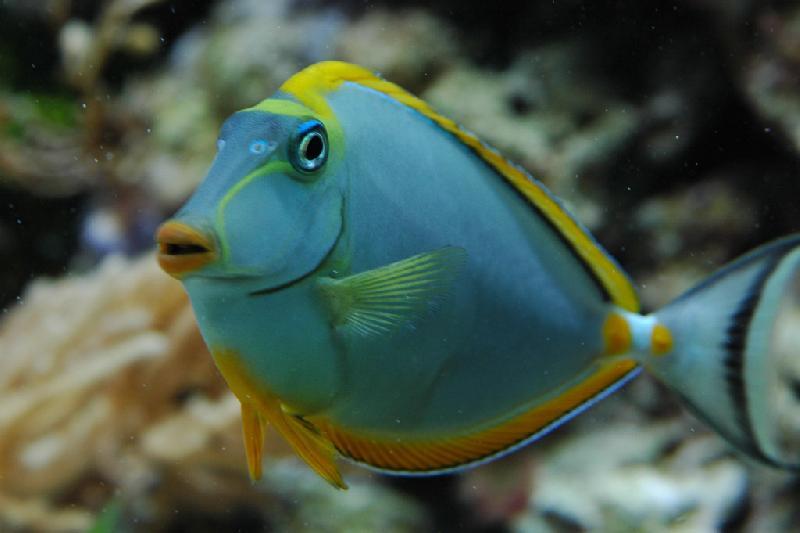 Naso lituratus mange les algues poissons marins vente for Nettoyeur aquarium poisson