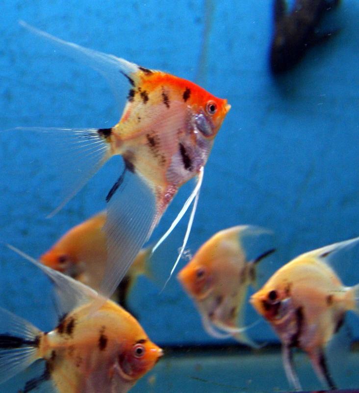 Scalaire koi nouveau poissons exotiques vente magasin for Koi poisson prix
