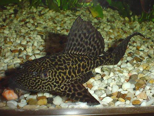 Plecostomus 10 cm hypostomus plecostomus poissons for Nettoyeur aquarium poisson