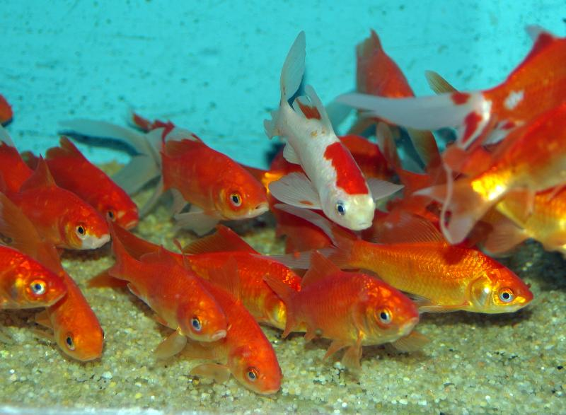 Poissons eau froide vente magasin uniquement de for Reproduction poisson rouge bassin