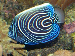 poissons marins vente magasin uniquement poissons en aquarium marin aux poissons exotiques. Black Bedroom Furniture Sets. Home Design Ideas