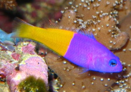Pseudochromis paccagnellae poissons marins vente for Vente aquarium poisson