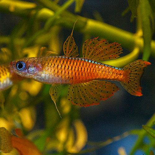 Pseudomugil paskai nouveau poissons exotiques vente for Nano aquarium poisson