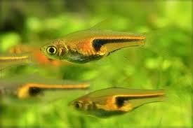 Rasbora espei hengeli trigonostigma eipesi poissons for Nano aquarium poisson