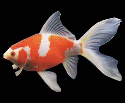 Sarasa rouge et blanc carassius auratus poissons eau for Achat poisson rouge japonais