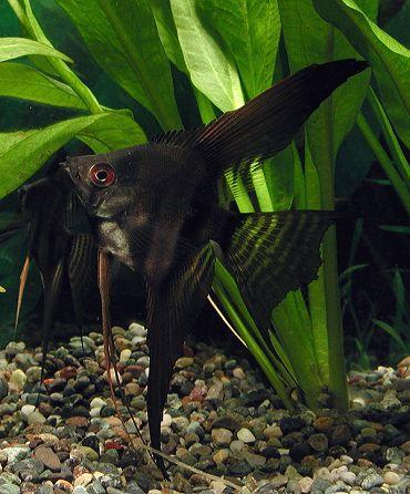 Poissons exotiques vente magasin uniquement scalaires for Vente poisson aquarium particulier