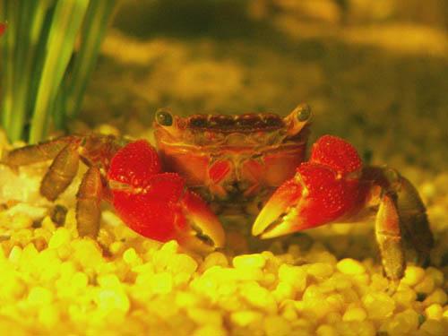sesarma mederi crabe 224 pinces d eau douce poissons exotiques vente magasin