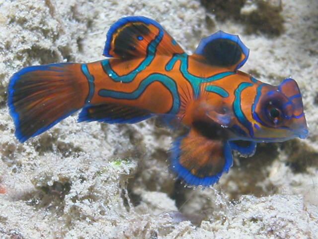 Synchiropus splendidus poissons marins vente magasin for Vente aquarium poisson