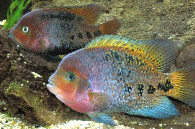 Cichlasoma synspilum poissons exotiques vente magasin for Vente poisson rouge toulouse