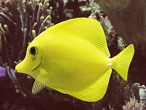Zebrasoma flavescent poissons marins vente magasin for Poisson tropicaux pour aquarium